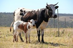 Miniature Breeds Of Cattle That Are Perfect For Small Farms Miniature Cattle, Longhorn Cattle, Show Cattle, Organic Beef, Cow Painting, Nursery Paintings, Loose Skin, Friesian, Small Farm