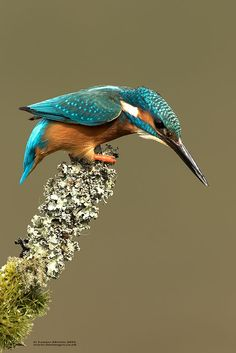 Kingfisher by Louise Morris / 500px