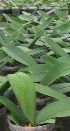 Cultivo de Phalaenopsis