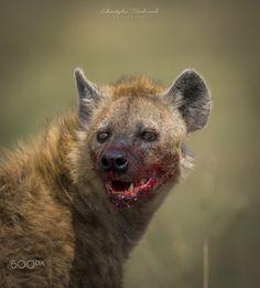 Nature Animals, Animals And Pets, Baby Animals, Cute Animals, Hyena Animal, Beautiful Creatures, Animals Beautiful, Brown Hyena, Painted Horses