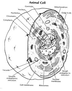 animal cell coloring key sketch coloring page