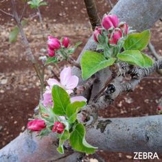 Apple blossom in the Galilee ♥ I love the Scents of Springtime Festival ✡ I wish you a beautiful, loving and peaceful Shabbat Shalom. Amen.