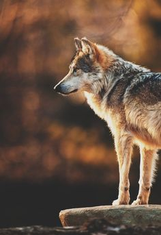 Wolf Runes