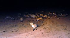 A horde of feral foxes in New South Wales, Australia, have a night-time feed after a kangaroo cull