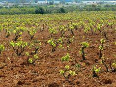 Vineyards Tunisia