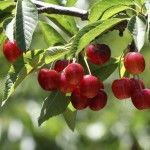 How to grow and care for cherry trees to pruning cherries and managing cherry tree problems.