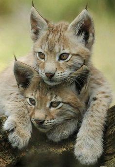 Lynx Kittens by SchlangenTieger