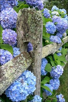 Gardening Love Rustic Hydrangeas - 17 Dreamy Hydrangea Gardens That Have Us So Ready for Spring - Southernliving. We love the combination of the weathered wood fence and the stunning hydrangea blossoms. See Pin - Is it spring yet? Hortensia Hydrangea, Hydrangea Garden, Blue Hydrangea, Hydrangea Bush, Hydrangea Varieties, Hydrangea Bouquet, Hydrangea Macrophylla, Dream Garden, Wisteria