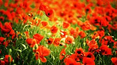 Red Poppy Field | Red Poppy Fields - High Definition Wallpapers - HD wallpapers