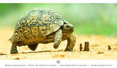 Slow walking Turtle, Wildlife, Walking, Animals, Animales, Turtles, Animaux, Tortoise Turtle, Woking