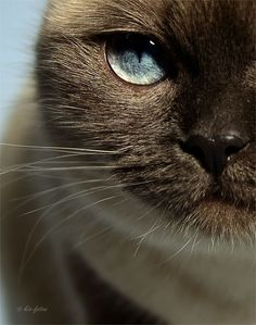 looks like my childhood cat Sandy absolutely beautiful Siamese Tonkinese mix Pretty Cats, Beautiful Cats, Animals Beautiful, Cute Animals, Photo Animaliere, Photo Chat, Animal Gato, Mundo Animal, Crazy Cat Lady