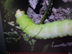 """This grub picture come from my video titled"""" Bright Green Grub"""" that can be viewed at youtube.com/viewwithme and can now be bought on your favorite items at Cafe Press. Titled """" I'm A Grub"""" designed by: Doris Anne Beaulieu"""