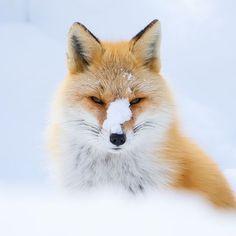 Red Fox by Yuji Tokura - National Geographic Your Shot