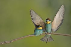 European Bee Eater Fly by LAMANDE Cédrick on 500px