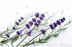 Resultado de imagen para flor lavanda imagenes