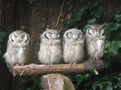 Gorgeous owls