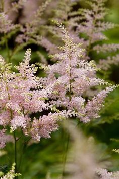 Astilbe: False Spirea