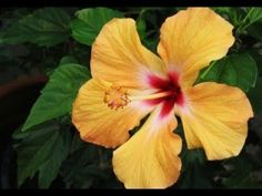 Hibiscus Plant Care, Prepare Soil and Grow Hibiscus Flower Plant