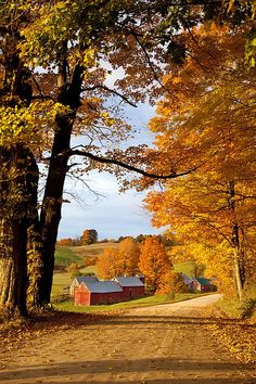 SEASONAL – AUTUMN – barns In vermont are framed by a golden network of fall leaves.