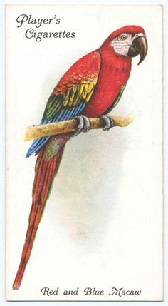 Red and Blue Macaw. (ca. 1903-1917)