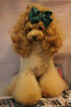 So ladylike! Cat Grooming, Dog Grooming Styles, Poodle Grooming, Grooming Salon, Pet Shop, Dog Haircuts, Dog Hairstyles, Asian Dogs, Creative Grooming
