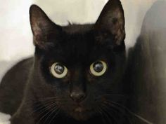 SAFE - 06/09/15 - NEALY - #A1035272 - - Manhattan *** TO BE DESTROYED 06/06/15 *** SPAYED FEMALE BLACK DOMESTIC SH MIX, 1 Ur. 1 !o. Old. STRAY ON 05/04/15 - Brought in by police as a stray.