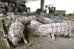 gestation crates - no way to treat a new mother - this is common practice
