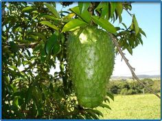 Graviola tree (soursop friut) - stronger cancer killer than chemo according to one of the largest drug manufacturers in America. grow this in garden. (Such a tasty fruit I just wonder if it really is a cancer killer? Soursop Benefits, Health Benefits, Brazilian Fruit, Soursop Fruit, Salud Natural, Exotic Fruit, Tropical Fruits, Tropical Plants, Fruit And Veg
