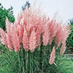 Pink Pampas Grass. Spectacular
