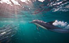 Sardine run: dolphin