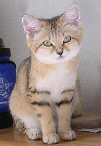 Pretty Sand Cat
