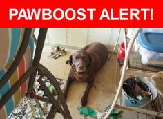 Is this your lost pet? Found in San Antonio, TX 78247. Please spread the word so we can find the owner!  Chocolate lab, older  Nearest Address: Near Marble Tree St & Old Trail St