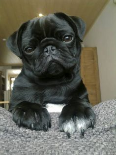 Super cute black Pug