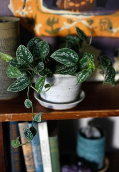 Around The Jungalow, we love 'spillers'- plants that we can stick on a shelf, or hang up high, that cascade down- they add a great layer of texture, and fill awkward spaces nicely, plus, watching them grow longer is so satisfying. The Satin 'Pothos', which isn't really a Pothos at all (botanical...