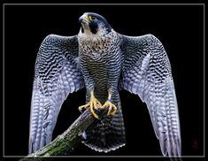 Peregrine Falcon (Falco peregrinus) by Jean-Claude Sch. on 500px