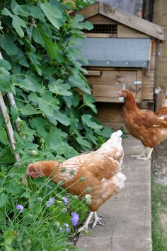 here come the girls... | farm animals + pet photography #chickens