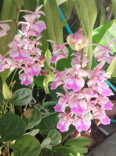 Wild orchids at home