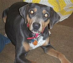 blue lacy dog photo | Blue Lacy, photo courtesy of D-S Texas Lacy Game Dog. Female Blue ...