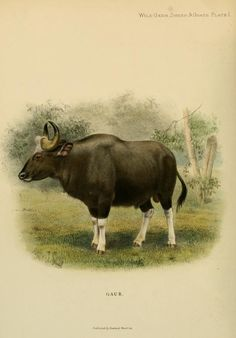 Wild oxen, sheep & goats of all lands, living and extinct, - Biodiversity Heritage Library