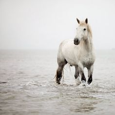 A Heart So White-Eye Poetry-White horses of The Camargue in France