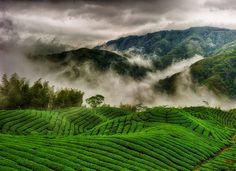 tea farm, Nantou #Taiwan 南投 八卦茶園