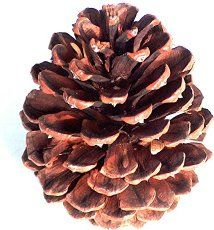 1. Pine Cone Roses Because pine cones have alternating scales that resemble petals, they make for a lovely array of faux flowers that can be enjoyed year-round. Simply scavenge pine cones large and small, as well as a few twigs that serve as their thorny stems, and anoint them in your favorite colors. 2. Pine Cone Wreath There are perhaps thousands of ways to create a wreath…   [read more]