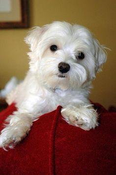 Cute puppy! #maltese #puppy