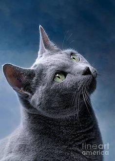 Cat Lover Gifts, Cat Gifts, Cat Lovers, Cats 101, Cats And Kittens, Grey Cat Breeds, Russian Blue, Blue Cats, Cute Animals