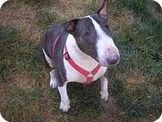 Portland, OR - Bull Terrier. Meet Nikki a Dog for Adoption.