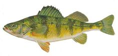 Google Image Result for http://dnr.wi.gov/fish/images/yellowperch.jpg