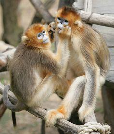 Golden Snub-Nose Monkeys