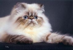 Persian Cat For Sale gatos persas 2 animais Mais Teacup Persian Cats, Himalayan Persian Cats, Persian Cats For Sale, Himalayan Kitten, Persian Kittens, Cute Cats And Kittens, I Love Cats, Crazy Cats, Most Beautiful Cat Breeds