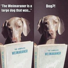 That's so Lou(p. I wrote this-Delilah) That's so Lou(p. I wrote this-Delilah) Blue Weimaraner, Weimaraner Puppies, Weimaraner Funny, I Love Dogs, Puppy Love, Cute Dogs, Funny Dogs, Funny Animals, Cute Animals