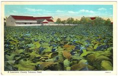 1943 Lancaster County Tobacco Field, PA Linen Postcard | eBay